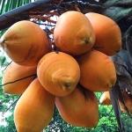 海南金椰 树上新鲜采摘直发